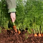 Shillingford Carrot Harvest