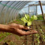 Shillingford Lettuce Transplant