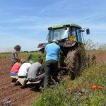 Shillingford Planting Leeks